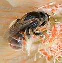 Unknown Bee in Mentzelia involucrata - Xeralictus timberlakei - female