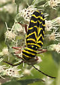 Locust Borer?  - Megacyllene robiniae