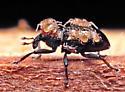 Tiny weevil transporting mites. - Poecilochirus