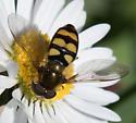 Syrphus? - Eupeodes latifasciatus