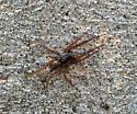 Wolf Spider - Trochosa sepulchralis