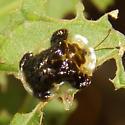 Clavate Tortoise Beetle - Plagiometriona clavata