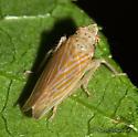 An orangish leafhopper - Pagaronia triunata