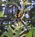 Michigan Spider (Orb Weaver?) - Argiope aurantia