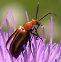 What kind of beetle is this? - Nemognatha