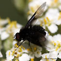 Bee Fly - Anthrax georgicus? - Ogcodocera leucoprocta