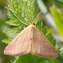 Chickweed Geometer (7146) - Haematopis grataria - male