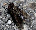 Night Walking Fly - Pollenia - female