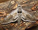 Five-spotted Hawk Moth - Hodges #7776 - Manduca quinquemaculatus