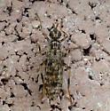 bug - Boreothrinax maculipennis