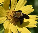 Large Bee - Svastra