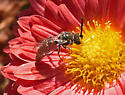 Bee 556A 6240 & 6244 - Sphecodes