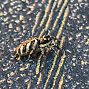 Zebra Jumper - Salticus scenicus - Salticus scenicus