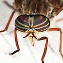 horse fly - Hybomitra microcephala - female