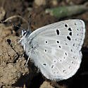 Blue Butterfly - Plebejus icarioides