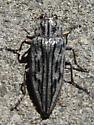 Grey/black Beetle  - Chalcophora fortis