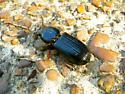 Beetle species - Odontotaenius disjunctus