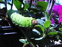 Polyphemus moth? - Antheraea polyphemus