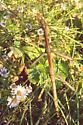 Phasmatodea Megaphasma denticrus - Megaphasma denticrus