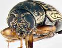 Scriptured Leaf Beetle, face - Pachybrachis