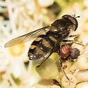 syrphid - Megasyrphus laxus - male