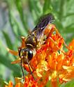 Great Golden Digger Wasp, frontal - Sphex ichneumoneus