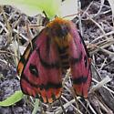 Hemileuca eglanterina - female