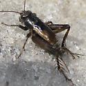 Cricket near pond - Allonemobius allardi - male