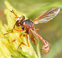 Physocephala texana - male