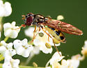 yellow-black striped fly with mint-green calypters - Melanostoma mellinum - female