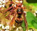 Id help needed, cicada killer ? - Vespa crabro