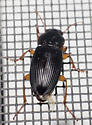 Black-winged ground beetle