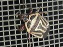 Which Bug ? - Perillus bioculatus