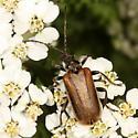 Beetle - Brachysomida bivittata