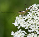 Katydid? - Conocephalus saltans - female