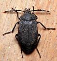 Beetle - Penthe pimelia