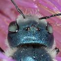 Large Mason Bee - Osmia chalybea? - Osmia chalybea - female
