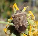 Pentatomidae sp - Euschistus ? - Euschistus