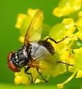 small black tachnid? fly - Phasia