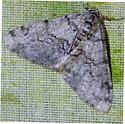 Phigalia strigataria - Small Phigalia  - Phigalia strigataria