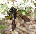 bee at Pycnanthemum - Dieunomia heteropoda - female