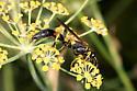 Wasp - Sceliphron caementarium