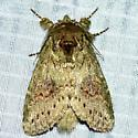 Wavy-Lined Heterocampa - Heterocampa biundata