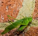 Katydid - Scudderia - male