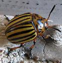 Potatoe beetle - new for NB - Leptinotarsa decemlineata