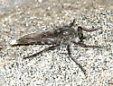 Robber Fly - Promachus albifacies - male
