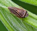Leafhopper - Aphrodes - male