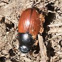 Ahodius fimetarius ? with mites - Aphodius fimetarius