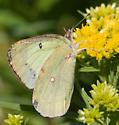 Buterfly - Colias eurytheme - female