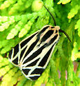 Banded Tiger Moth - Apantesis phalerata - male